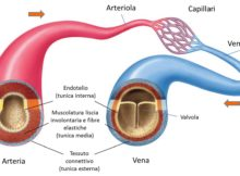 vene arterie